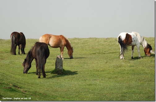 chevaux dans le dartmoor