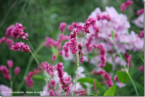 persicaria orientalis 2