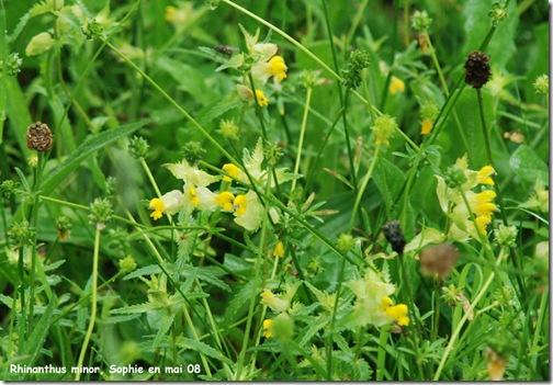 rhinanthus