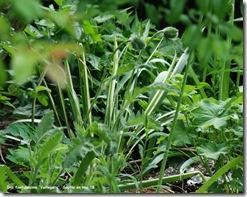 iris foetidissima variegata