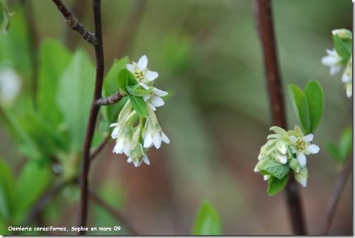 fleur oemleria ceasiformis