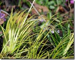 acorus gramineus ogon