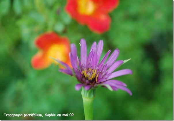 tragopogon porrifolium