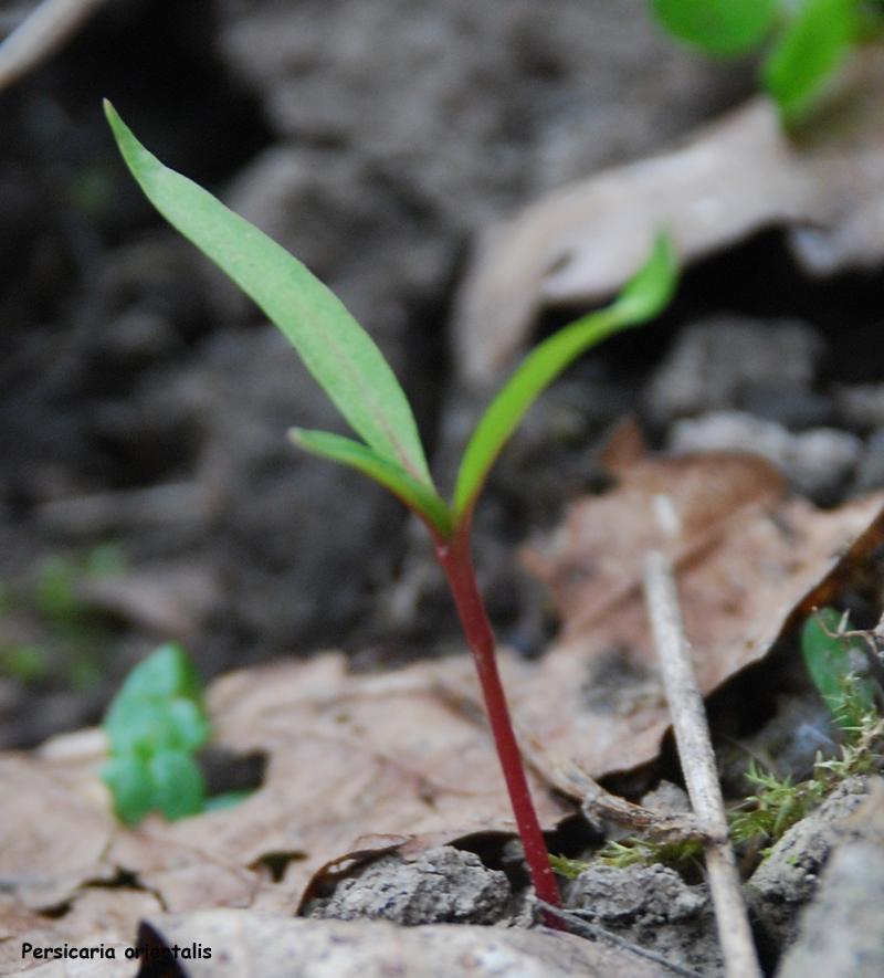 Jeune plantul