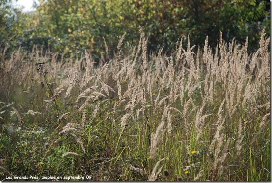 clamagrostis