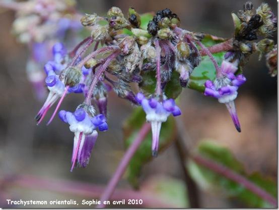 fleur bleues
