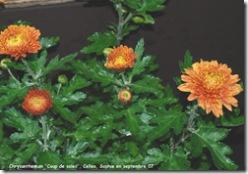 chrysanthemum coup de soleil