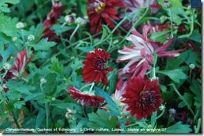 chrysanthemum duchess edinburg