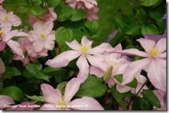 clematis rose supreme