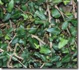 lierre à petites feuilles