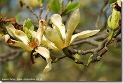 magnolia carlos