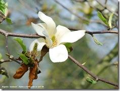 magnolia sundance