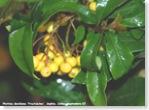 photinia fructuluteo