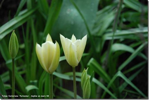 tulipe purissima