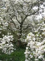 Vieux_magnolia1
