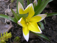 Tulipa_tarda