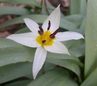 Tulipa_turkestanica