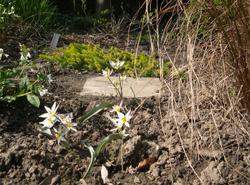 Tulipa_turkestanica_2