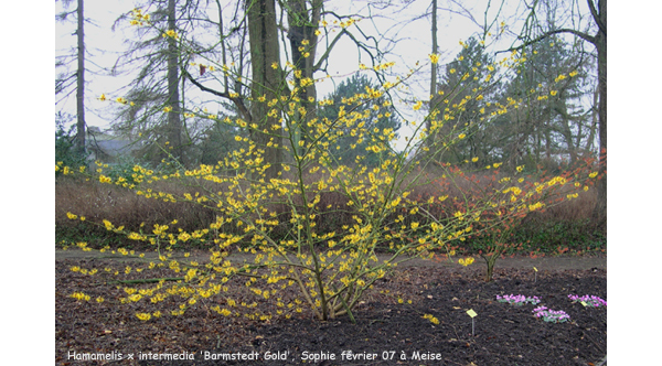 Hamamelis_barmstedt_gold