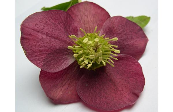 Helebore_orientale_fleur_entire_1