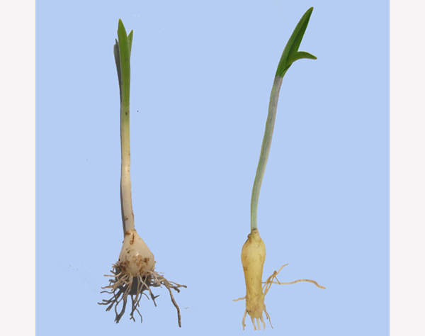 Hyacinthoides_nonscripta