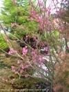 Prunusmumebenishidori_1